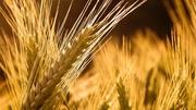 Продам пшеницу урожая 2013 года