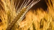 Продам пшеницу мягкую 3 класс.