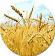 Пшеница высокого качества всех сортов