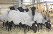 Жывой вес овцы,  ягнята